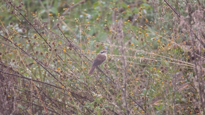 Brown Shrike.
