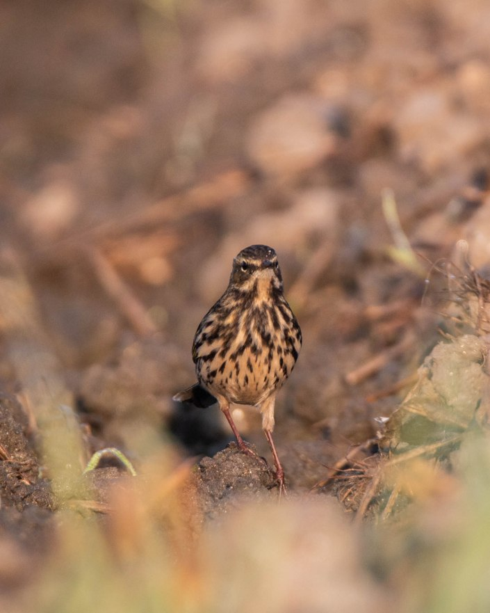 Rosy Pipit.